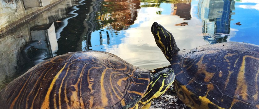 Step by Step Image: Lake Eola Turtles